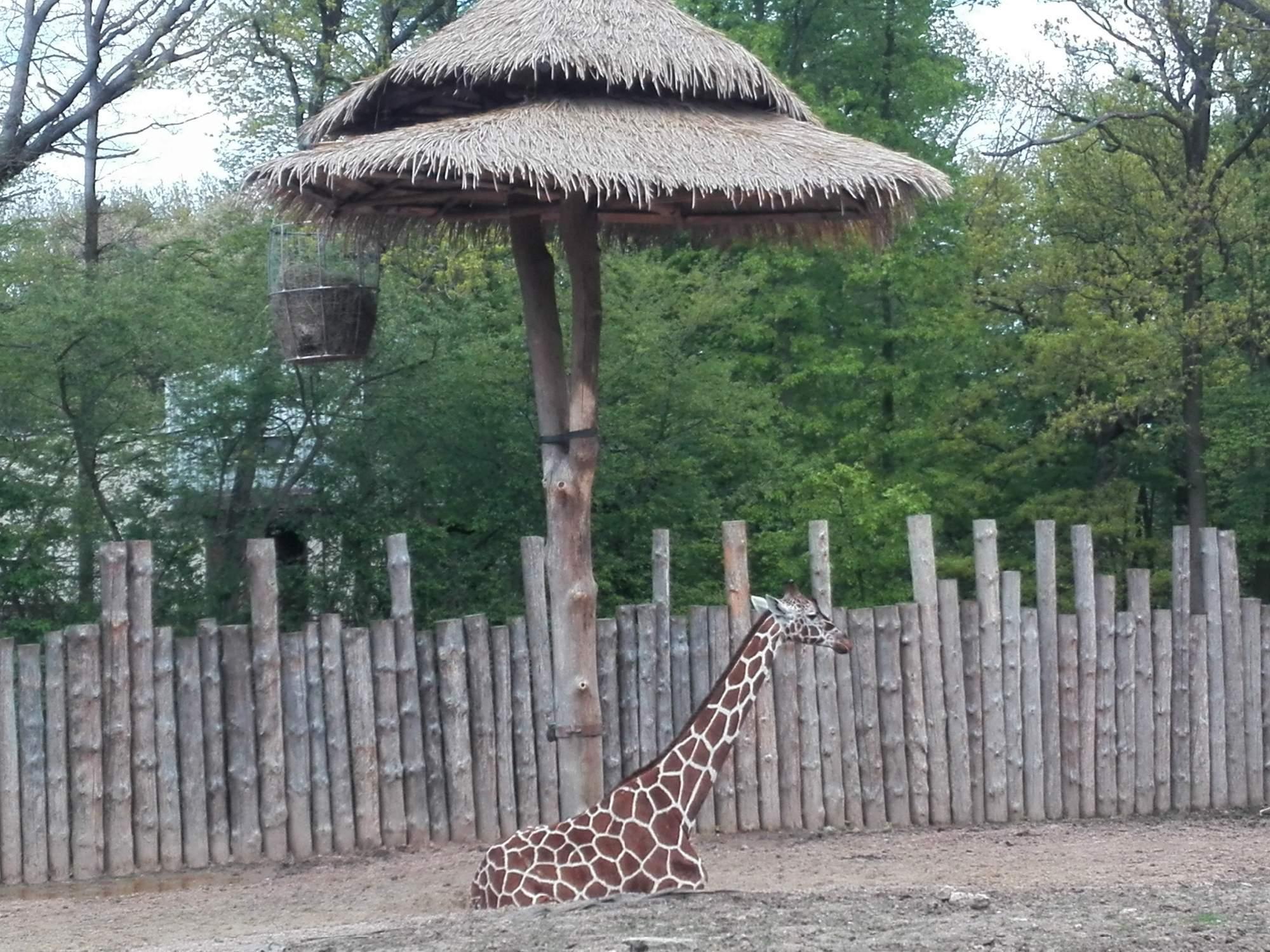Komentovaného krmení se dočkaly i žirafy. Foto: Dominika Vrbecká