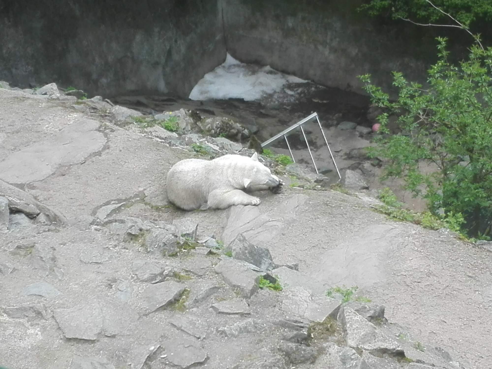 Jako první si komentovaný oběd vychutnali lední medvědi. Foto: Dominika Vrbecká