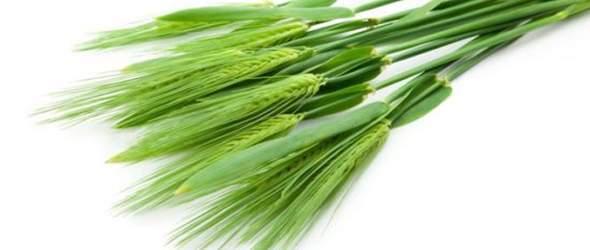 Mladá pšenice - ječmen