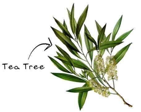 Just Tea tree