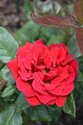 naše nová růžička od Starkla z Čáslavi :o)