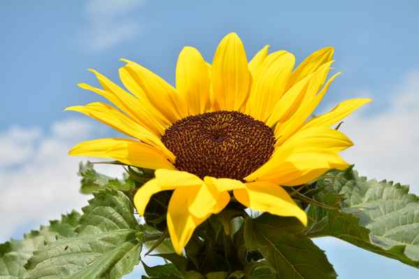 slunečnice je také z Líbeznic :o)
