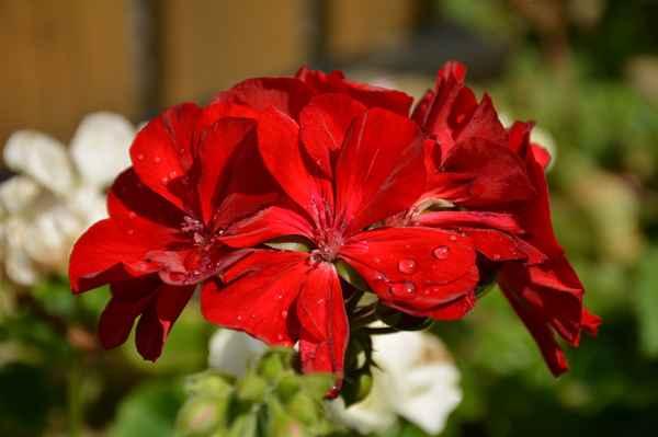"""Tento muškát """"Calliope Dark Red"""" je z Čáslavi, není ale nový, žije s námi již několik let. :o)"""