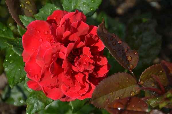 naše nová růžička (a její úplně první květ) po dešti :o)