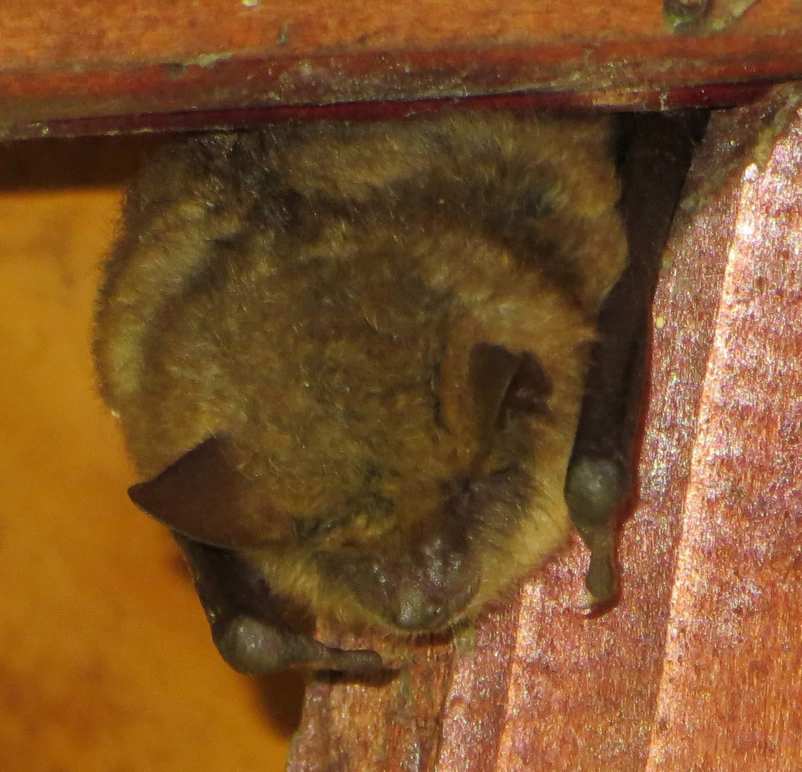 Pepa ve špici dřevěného krovu spí.